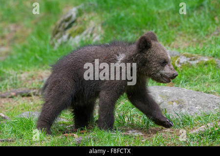 Brown bear (Ursus arctos) cub walking - Stock Photo
