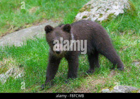 Brown bear (Ursus arctos) cub portrait - Stock Photo