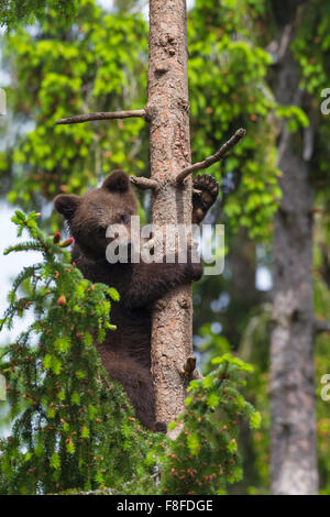 Brown bear (Ursus arctos) cub climbing pine tree in coniferous forest - Stock Photo