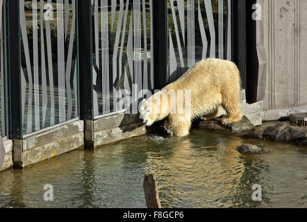 Polar bear in the Zoo (Tiergarden) of Schonbrunn palace, Vienna, Austria. - Stock Photo