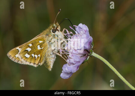 Silver-spotted skipper (Hesperia comma) nectaring on scabious - Stock Photo