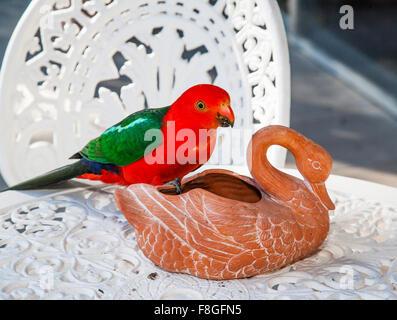 Australia, an Australian King Parrot meets a ceramic swan - Stock Photo