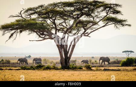 Elephants under trees in savanna landscape - Stock Photo