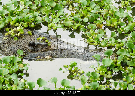 Portrait of an Estuarine Crocodile - Stock Photo
