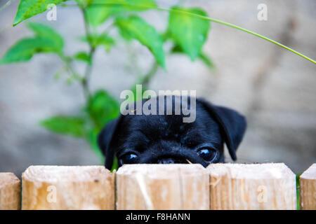 Portrait shot of my Puggy - Stock Photo