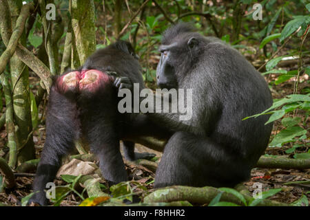 Celebes black crested macaques grooming. - Stock Photo