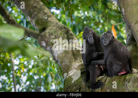 A pair of Celebes black crested macaques. - Stock Photo