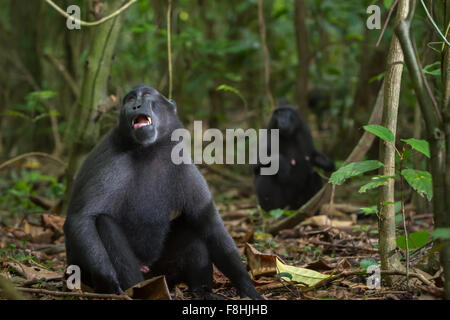 Celebes black crested macaques. - Stock Photo