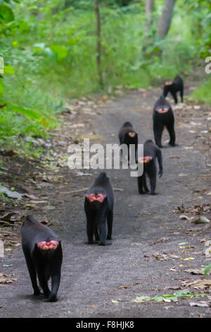 Group of Celebes black crested macaques walking together on a forest path. - Stock Photo