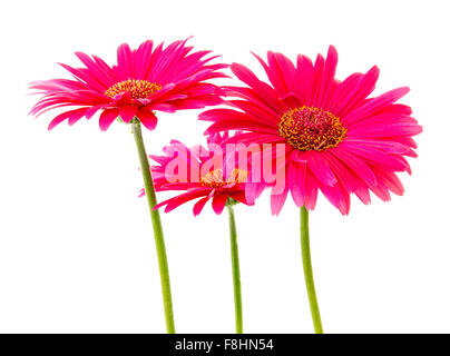 Three Pink Gerbera flowers, Isolated on white background - Stock Photo