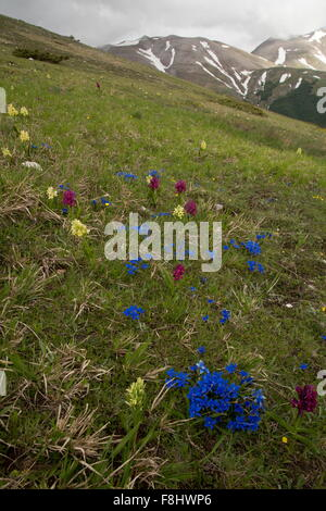 Flowery alpine grassland, with Spring gentian and  Elder-flowered Orchid, at 1700m in Monti Sibillini National Park, - Stock Photo