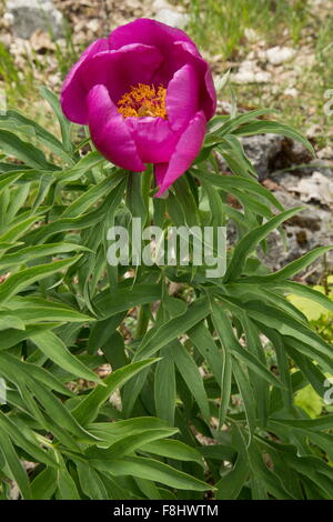 Common peony, Paeonia officinalis in flower in the Apennines, Italy.