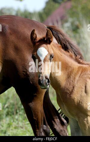 Head shot of an arabian breed few weeks old colt - Stock Photo