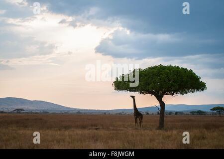 Giraffe reaching for tree leaves at dusk, Masai Mara, Kenya - Stock Photo