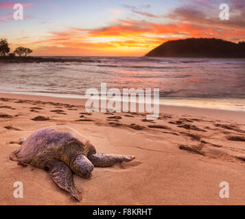 Green sea turtle - Chelonia mydas - on the sand at Moloa'a Beach on east coast of Kauai in Hawaii - Stock Photo