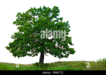 One oak tree on meadow, isolated over white background - Stock Photo
