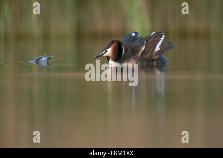 Great Crested Grebe / Great crestie / Haubentaucher ( Podiceps cristatus ) shows cat display, while partner surfaces. - Stock Photo