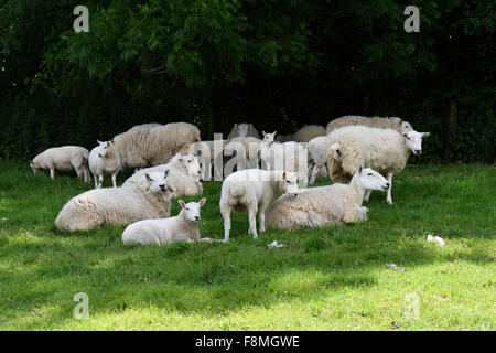 Cheviot ewes with their lambs in summer shelting in the shadow from the midday sun, Berkshire, June - Stock Photo