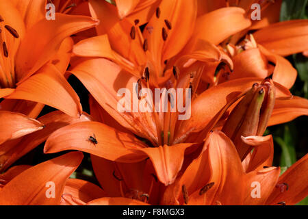 Low growing orange flowered lilies open in bright sunlight in a garden flower bed, Berkshire, June - Stock Photo