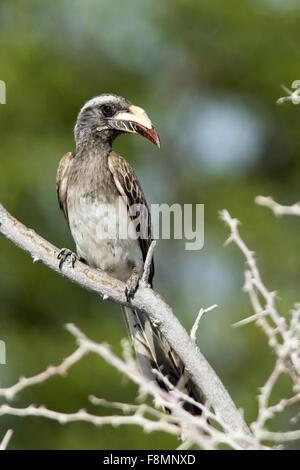 African grey hornbill (Tockus nasutus) - Etosha National Park, Namibia, Africa - Stock Photo