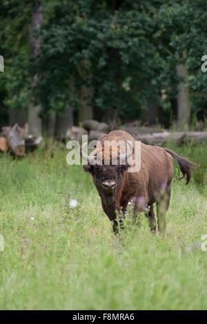 European bison, wisent, European wood bison, male, Wisent, Männchen, Bulle, Europäisches Bison, Bison bonasus, Wildrind - Stock Photo