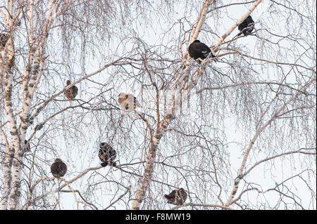 Black grouse in birch tree - Stock Photo