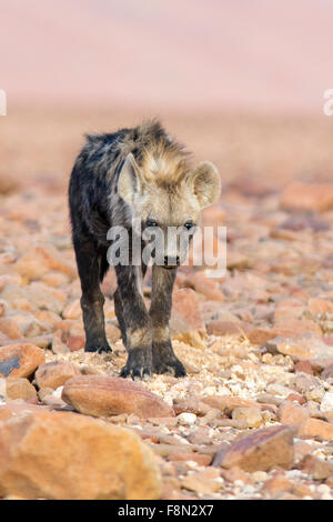 Spotted Hyena (Crocuta crocuta) - Desert Rhino Camp, Namibia, Africa - Stock Photo