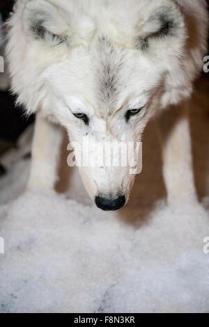 White wolf smells the snow - Stock Photo