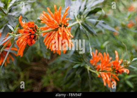 Leonotis leonurus, also known as lion's ear, lion's tail and wild dagga, is a plant species in the Lamiaceae family. - Stock Photo