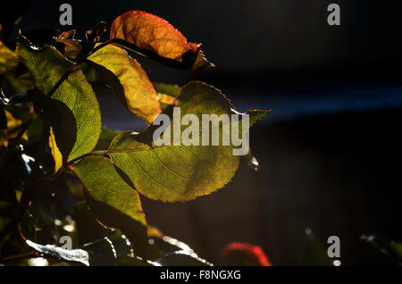 Crisp colorful autumn leaves viewed from underneath with the sun streaming through them against a dark background - Stock Photo