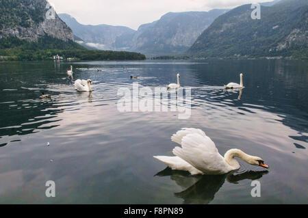 Beautiful white ducks at Hallstatt Lake, Hallstatt, Salzkammergut, Austria - Stock Photo