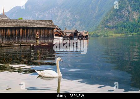 Beautiful white duck at Hallstatt Lake, Hallstatt, Salzkammergut, Austria - Stock Photo