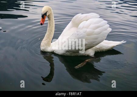 Beautiful white duck at Hallstatt Lake - Stock Photo