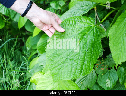 A woman's hand holding a very large leaf of a Large-leaved Lime (Tilia platyphyllos) tree - Stock Photo