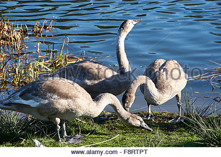 Three Mute swans Cygnus olar feeding on dry land at side of water - Stock Photo