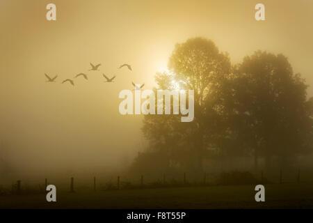 Common Crane (Grus grus) flying at sunrise, Lac du Der, Haute Marne, France. - Stock Photo