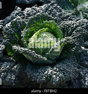 Cabbage cultivation on the coast of Puglia - Stock Photo