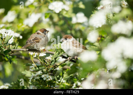 Eurasian tree sparrow Passer montanus, two juvenile, perched in Common hawthorn, Bempton Cliffs, Yorkshire, UK in - Stock Photo