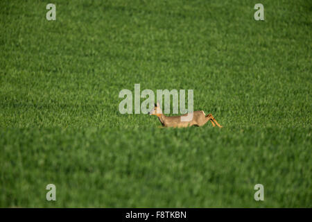 European roe deer Capreolus capreolus, adult female, running across grassland, Bempton Cliffs, Yorkshire, UK in - Stock Photo