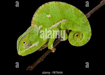 Flapnecked chamaeleon (Chamaeleo dilepis) - Stock Photo
