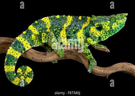 Meller's chameleon (Trioceros melleri) - Stock Photo