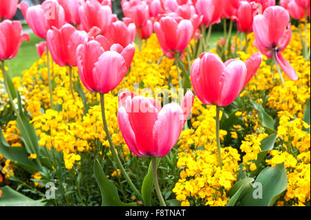 Pink tulips and yellow flowers in the garden - Stock Photo