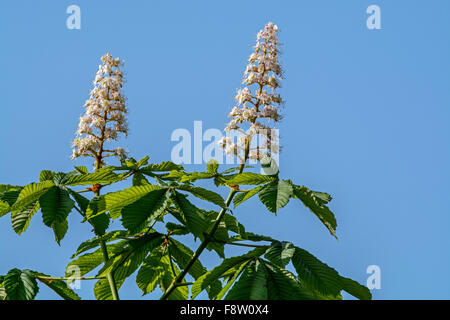 Foliage and flowers of horse-chestnut / conker tree (Aesculus hippocastanum) in spring - Stock Photo