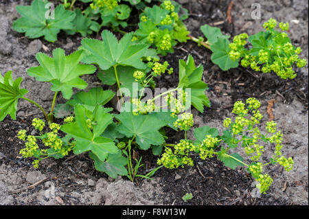 Lady's mantle (Alchemilla mollis) in flower, native to southern Europe - Stock Photo