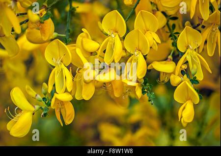 Common broom / Scotch broom / Scot's broom / English broom (Cytisus scoparius / Sarothamnus scoparius) in flower - Stock Photo