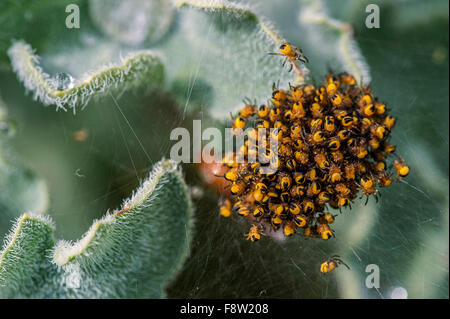 European garden spider / diadem spider (Araneus diadematus), cluster of spiderlings a few days after hatching - Stock Photo
