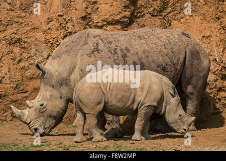 White rhino / Square-lipped rhinoceros (Ceratotherium simum) female with calf - Stock Photo
