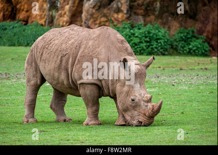 White rhino / Square-lipped rhinoceros (Ceratotherium simum) female grazing grass - Stock Photo