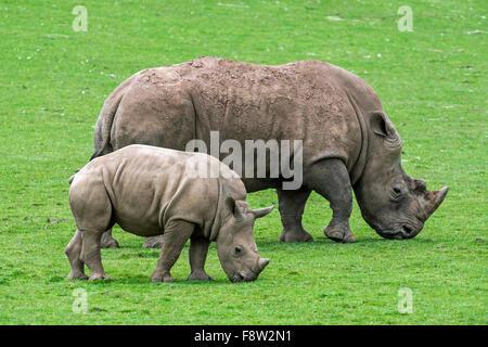 White rhino / Square-lipped rhinoceros (Ceratotherium simum) female and calf grazing grass - Stock Photo