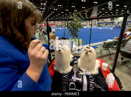 Orlando, Florida, USA. 11th Dec, 2015. JESSICA ANDERSON gets the attention of her Maltese dogs at the 2015 AKC/Eukenuba - Stock Photo
